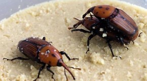 989 trees ate by red palm weevil